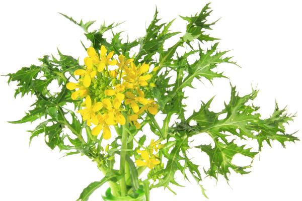 Мизуна - японская капуста. На второй год вегетации растение выбрасывает цветонос и дает семена