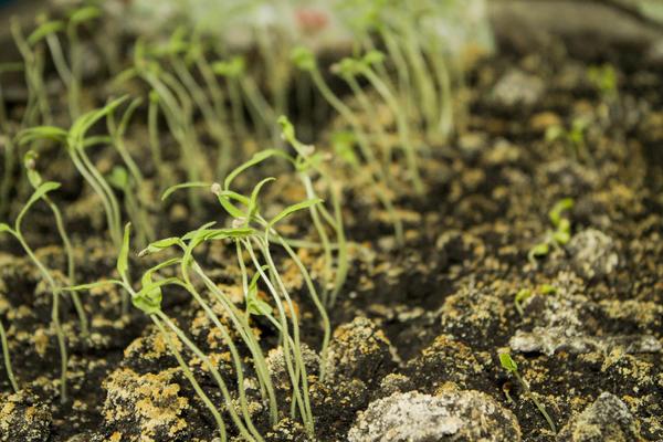 Загущенные посевы провоцируют гнили