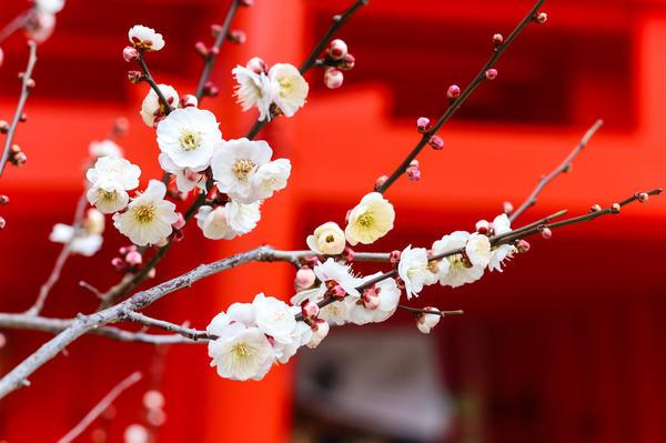 Цветущая слива - символ наступившей весны в Китае 35bb48ae014
