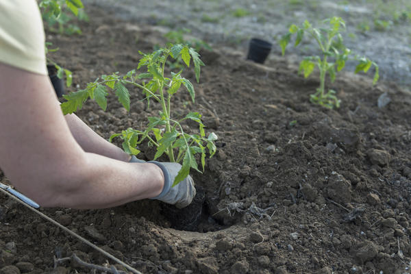 Цитокинины способствуют быстрому восстановлению растений после пересадки