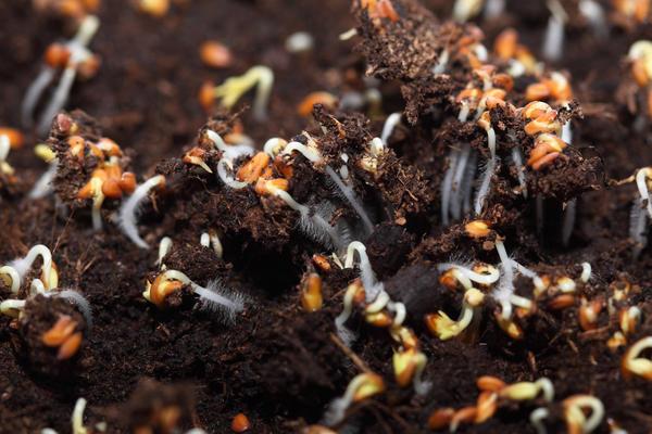 При набухании семени зародыш начинает выделять гиббереллин