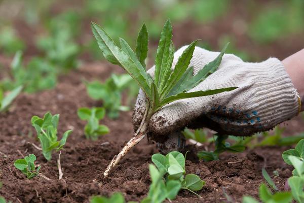 Стимуляторы роста стимулируют рост не только овощей, но и сорняков