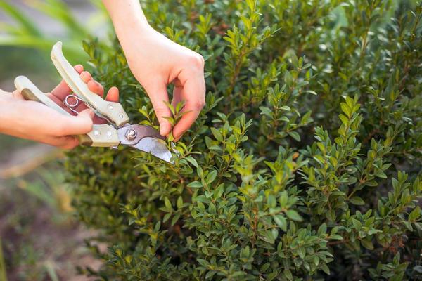 Укорачивая побег, мы повышаем концентрацию ауксина - побуждаем растение ветвиться