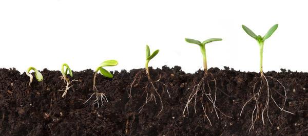 Семя прорастает под действием гиббереллинов