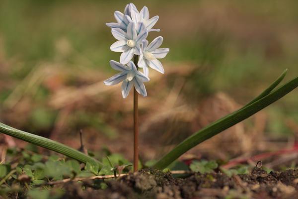 Пушкиния: скромница, которая может стать звездой весеннего сада