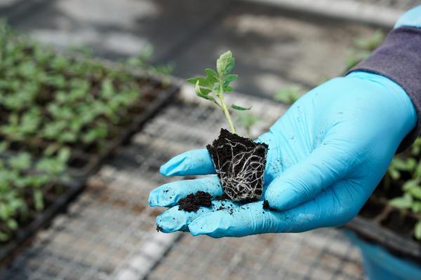 Корнерост весьма благотворно влияет на рассаду овощей
