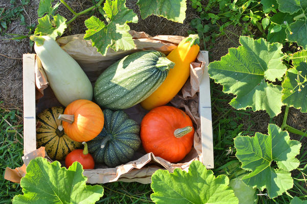 Царапины на кожуре тыквы и кабачков нужно обработать зеленкой