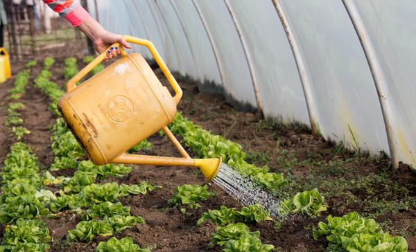 Подкормки культурных насаждений проводят раствором, приготовленным из 1 ст. ложки нашатыря и 10 л воды