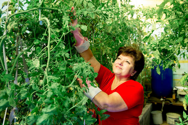 Только томаты пойдут в сильный рост, как макушкой упираются в потолок и резко приостанавливают своё развитие