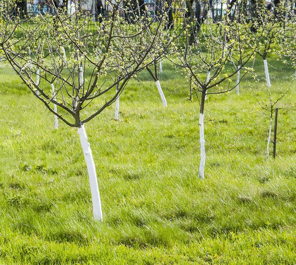При побелке молодых деревьев дозу компонентов смеси уменьшают вдвое