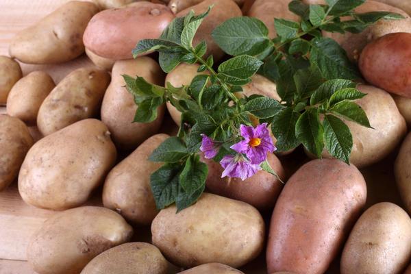 Ранний картофель особенно актуален для дачников
