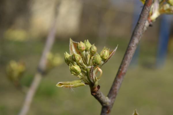 Объект поражения яблонного и грушевого цветоедов - бутоны