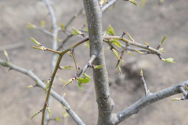 Грушевая галлица питается только молодыми листьями груши