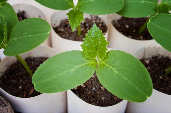Рассада, выращиваемая на плодородном субстрате, не нуждается в подкормках