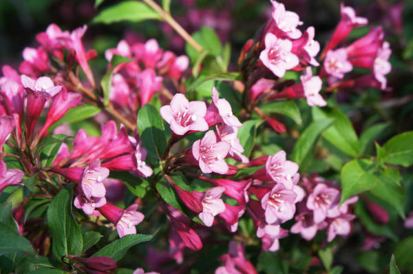 Вейгела цветущая (W. florida)
