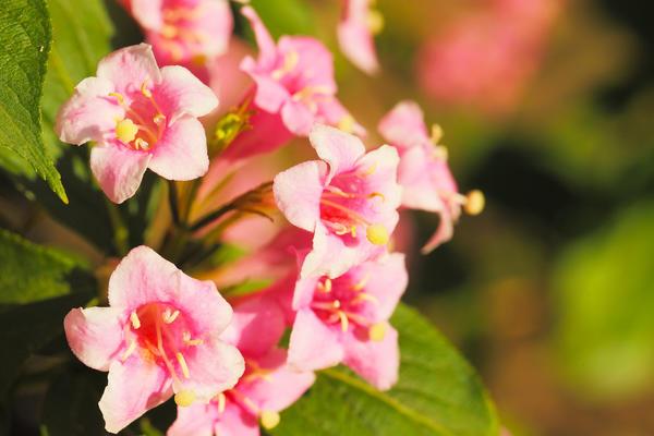 Вейгела обильноцветущая (W. floribunda)