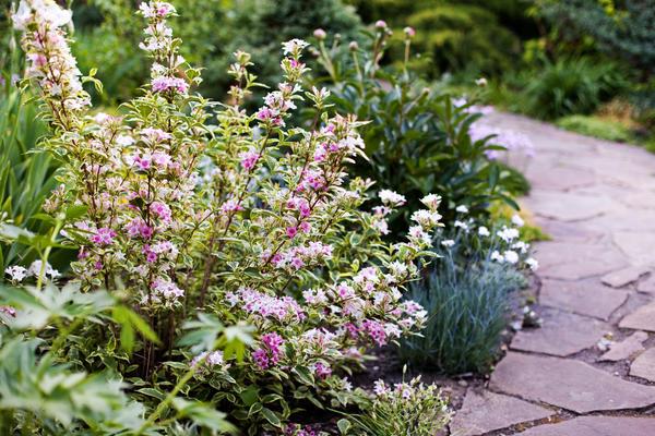 Вейгела цветущая 'Nana variegata' в саду