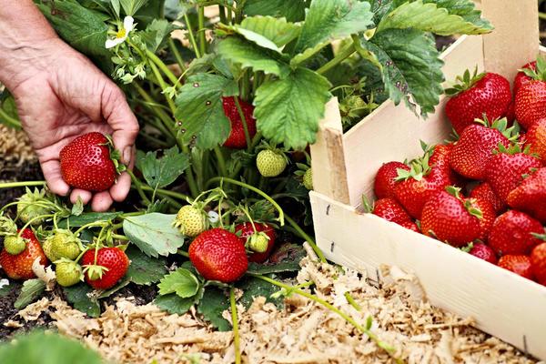 Правильный режим подкормок - залог щедрого урожая