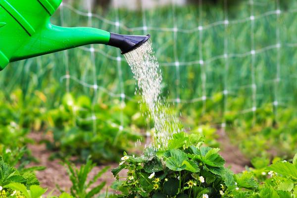 Земляника нуждается в регулярном и обильном поливе тёплой водой