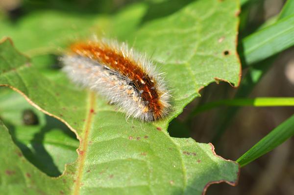 Личинка боярышницы