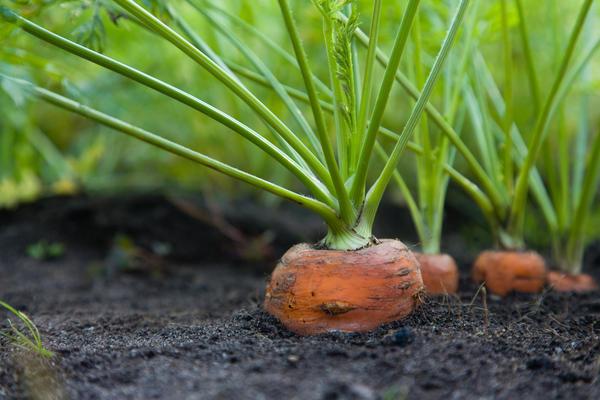 Аромат дёгтя отпугнет от морковной грядки морковную муху