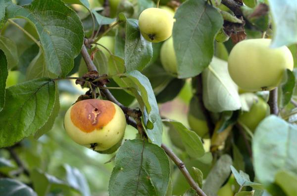 Яблоко, поврежденное личинкой яблонной плодожорки