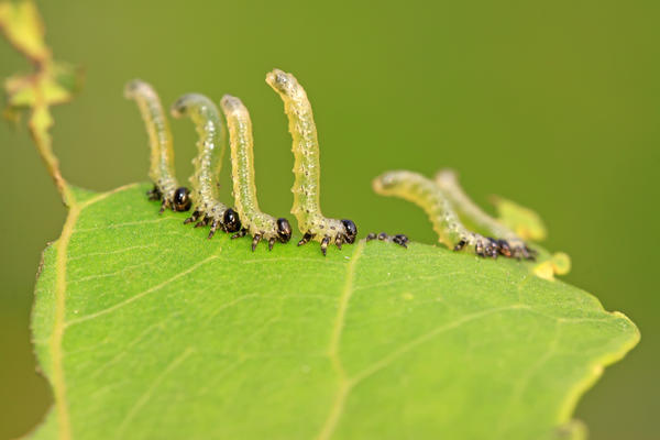 Личинки пилильщика активно поедают молодые листья