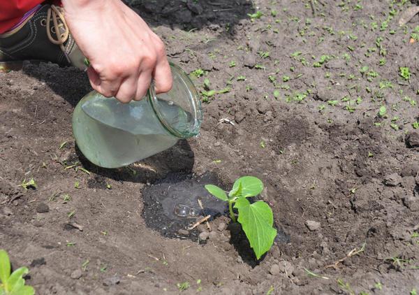 При неблагоприятной погоде огурцы поливают йодным раствором