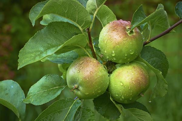 Яблони обрабатывают йодным раствором за месяц до сбора урожая