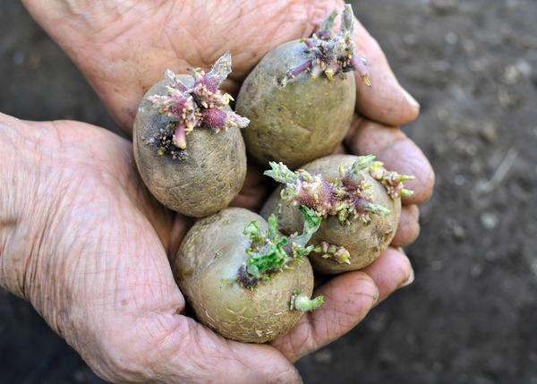 Семенной картофель обрабатывают йодным раствором за несколько часов до посадки