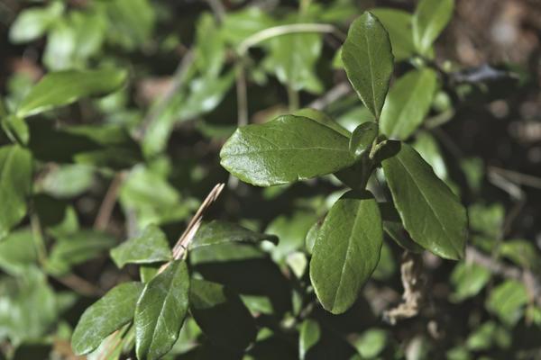 Брусничный лист собирают до того, как растение зацветет