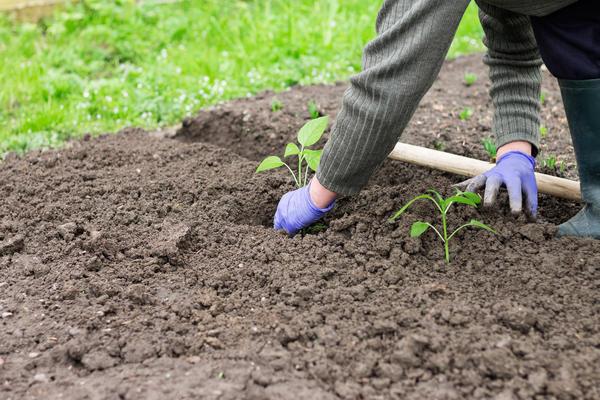 Время высадки рассады в грунт определяется в зависимости от конкретных условий