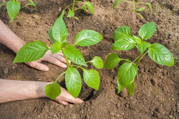 Рассаду перца лучше высаживать до цветения