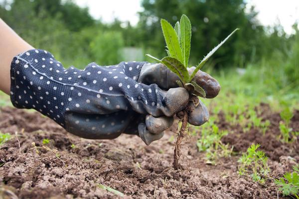 Среди многолетних сорняков много корневищных растений, которые следует максимально тщательно выбирать из почвы