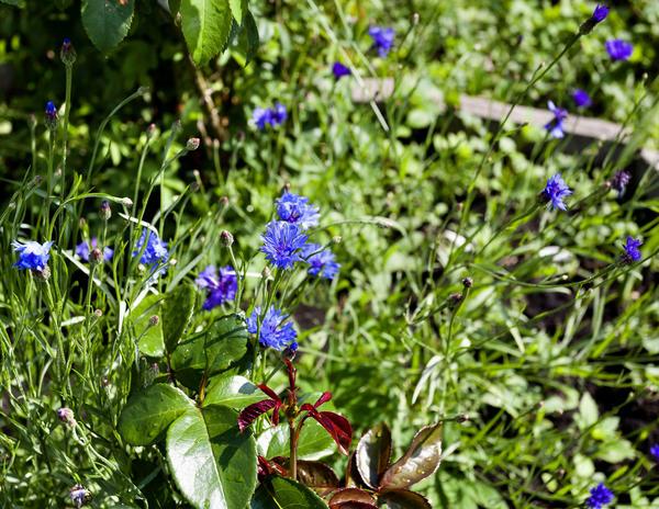 Василёк - очень красивый сорняк, занявший место в цветниках и клумбах