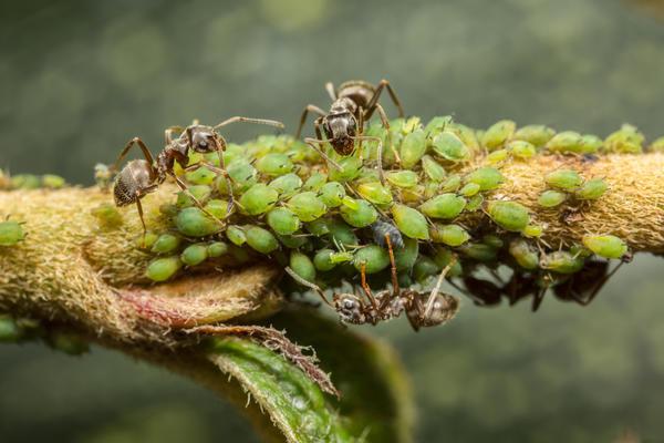 Муравьи заносят стада тли на все культурные растения
