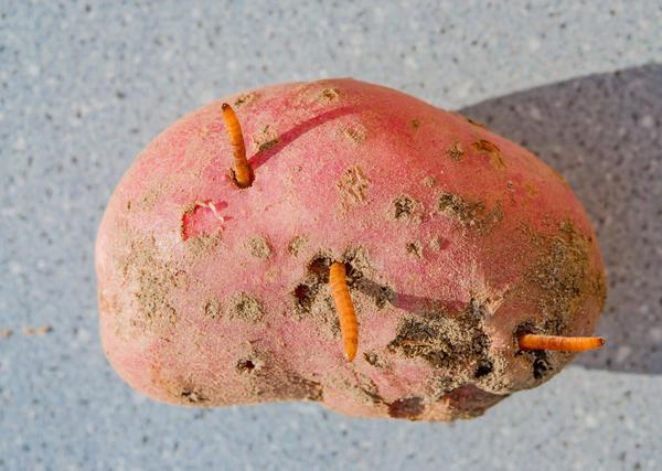 Объект первого выбора проволочника - картофель