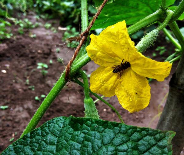 Завязь пчелоопыляемого сорта не может развиться без перенесения пыльцы с мужского цветка на пестик женского