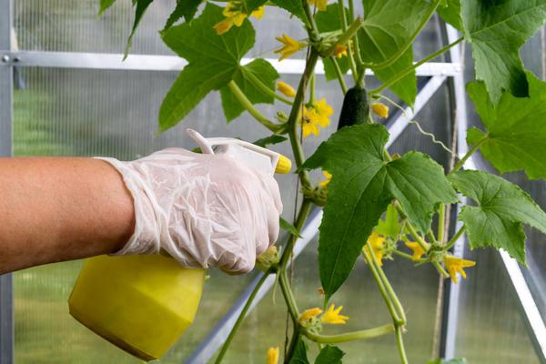 Опрыскивать растения лучше во второй половине дня или в пасмурную погоду