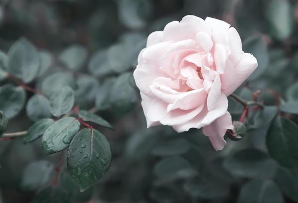 В Аткарске вновь выращивают розы