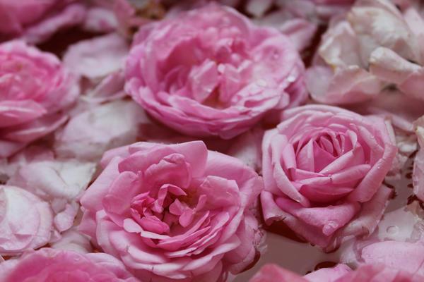 Праздник роз имеет давнюю традицию