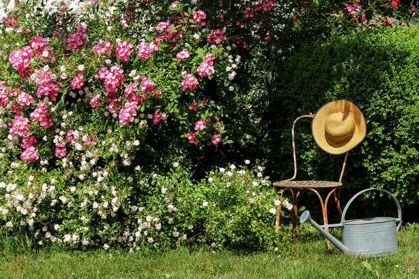 Розы - королевское украшение любого сада