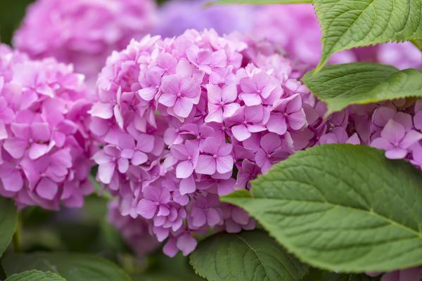 У гортензии крупнолистной цветочные почки закладываются на побегах прошлого года, поэтому растению требуется тщательное укрытие на зиму