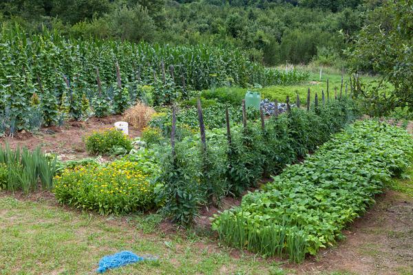Совместные посадки картофеля с другими растениями не спасают от жука