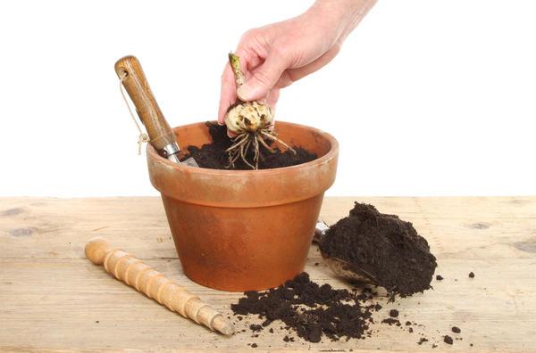 Можно посадить проросшую луковицу в горшок до весны