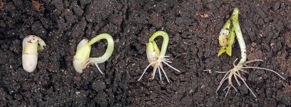 В растущем побеге образуется гормон ауксин, стимулирующий развитие корней