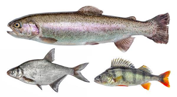 Речная рыба - источник заражения описторхозом
