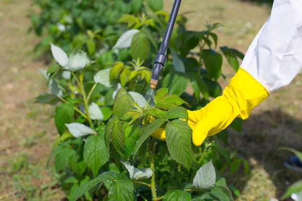 Своевременная обработка растений инсектицидами избавит посадки от малинника