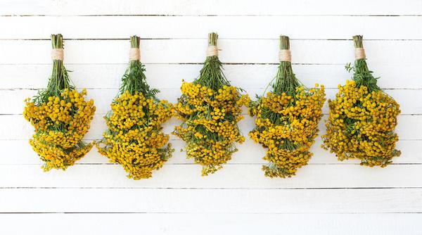 Поскольку максимальное количество эфирных масел пижма накапливает в период цветения, имеет смысл заранее запастись сырьем для будущих обработок