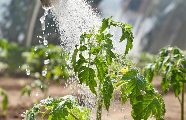 Растения орошают водой из шланга или лейки, а затем промывают листья мыльным раствором